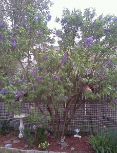 My lilac tree